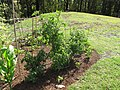 Starr-090707-2403-Solanum lycopersicum-in vegetable garden-Olinda-Maui (24601437929).jpg