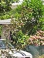 Starr-090720-3188-Psidium guajava-pink flowered form-Iao Valley Rd-Maui (24970072125).jpg