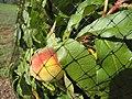 Starr-090802-3529-Prunus persica var persica-fruit with bird netting-Olinda-Maui (24340253094).jpg