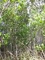 Starr-090804-3676-Acacia melanoxylon-habit-MISC HQ Piiholo-Maui (24344267033).jpg