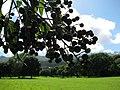 Starr-091104-0873-Vitex parviflora-fruit-Kahanu Gardens NTBG Kaeleku Hana-Maui (24620128929).jpg