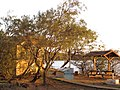 Starr-091221-0813-Tamarix aphylla-habit at sunset-Honokanaia-Kahoolawe (24992579335).jpg