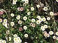 Starr-100603-6869-Erigeron karvinskianus-flowers-Polipoli-Maui (24412995113).jpg