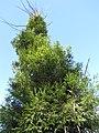 Starr-110105-9959-Sequoia sempervirens-rebounding after fire-Polipoli-Maui (24953632742).jpg