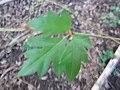Starr-110209-0704-Cissus rhombifolia-leaves-Resort Management Group Nursery Kihei-Maui (24778801600).jpg