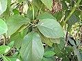 Starr-110215-1356-Persea americana-leaves-KiHana Nursery Kihei-Maui (24958024902).jpg