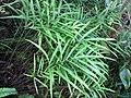 Starr-110307-1977-Pteris cretica-habit-Kula Botanical Garden-Maui (24450493163).jpg