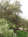 Starr-110307-2421-Banksia integrifolia-habit-Kula Botanical Garden-Maui (24447397794).jpg
