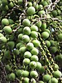 Starr-110330-3660-Syagrus romanzoffiana-fruit-Garden of Eden Keanae-Maui (24453726623).jpg