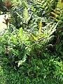 Starr-110330-3859-Diplazium esculentum-habit-Garden of Eden Keanae-Maui (24962692002).jpg