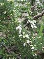 Starr-110609-6149-Erica lusitanica-leaves and flowers-Shibuya Farm Kula-Maui (24801216380).jpg