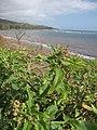 Starr-120412-4584-Chenopodium murale-fruit and leaves-Waihee Coastal Preserve-Maui (25046028561).jpg