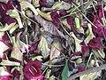 Starr-120522-6080-Kigelia africana-flowers-Iao Tropical Gardens of Maui-Maui (25024870052).jpg