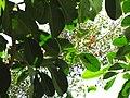 Starr-120522-6088-Fagraea berteroana-leaves and spent flowers-Iao Tropical Gardens of Maui-Maui (25049859161).jpg
