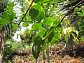 Starr-120522-6246-Lagerstroemia indica-leaves-Iao Tropical Gardens of Maui-Maui (24847714180).jpg