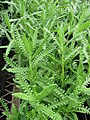 Starr-120613-9682-Lavandula dentata-leaves-Lowes Nursery Kahului-Maui (25119194606).jpg
