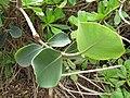Starr-130318-2665-Clusia rosea-branch-Kilauea Pt NWR-Kauai (25114571301).jpg