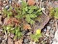 Starr-140502-0484-Matricaria discoidea-flowering habit-Summit parking area HNP-Maui (25215811346).jpg