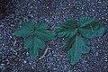Starr-981208-2618-Pueraria montana var lobata-leaves-Hana Hwy-Maui (23896305564).jpg