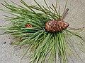 Starr 010515-0129 Pinus pinaster.jpg