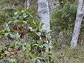 Starr 020501-0049 Cinchona pubescens.jpg