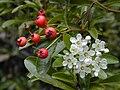 Starr 021126-0030 Pyracantha angustifolia.jpg