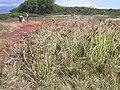 Starr 030625-0021 Cyperus javanicus.jpg