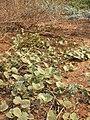 Starr 041102-0359 Solanum nelsonii.jpg