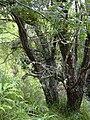 Starr 041106-0042 Sophora chrysophylla.jpg