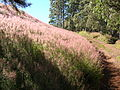 Starr 041219-1610 Melinis minutiflora.jpg