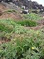 Starr 060228-8803 Setaria verticillata.jpg