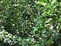 Starr 061105-1330 Psydrax odorata.jpg