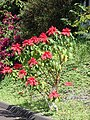 Starr 061201-1775 Euphorbia pulcherrima.jpg