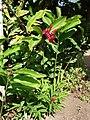 Starr 061212-2341 Alpinia purpurata.jpg