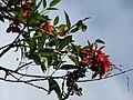 Starr 070221-4788 Erythrina crista-galli.jpg