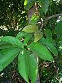 Starr 071024-8783 Syzygium malaccense.jpg