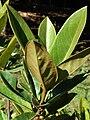 Starr 071024-9808 Magnolia grandiflora.jpg