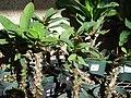 Starr 080103-1166 Euphorbia milii.jpg