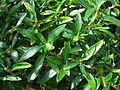 Starr 080117-1891 Unknown rubiaceae.jpg
