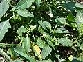 Starr 080531-4798 Solanum americanum.jpg
