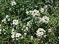 Starr 080531-4817 Lobularia maritima.jpg
