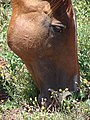 Starr 080817-9817 Senecio madagascariensis.jpg