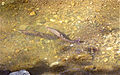 Steelhead trout digging redd March 2013 Stevens Creek.jpg