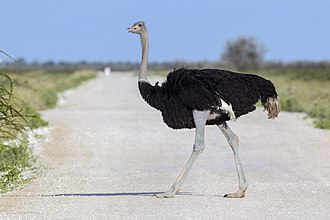 Theropoda - An ostrich walking on a road in Etosha National Park, Namibia.