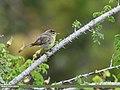 Sulphur-bellied Warbler (Phylloscopus griseolus) (36588626586).jpg