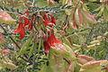 Sutherlandia frutescens.JPG