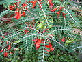 Sutherlandia frutescens 1.jpg