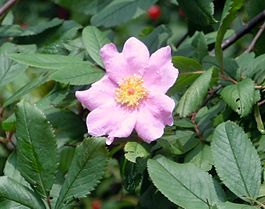 Swamp Rose (Rosa palustris) on the Galien River 2011.JPG