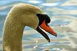 Swan - Stanborough Lakes (17638672859).jpg