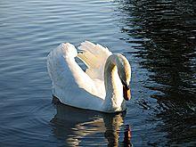 Swan In Water.jpg